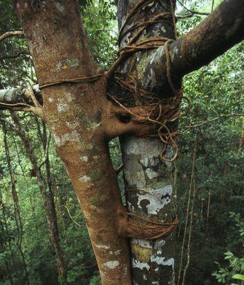 树木扼杀者