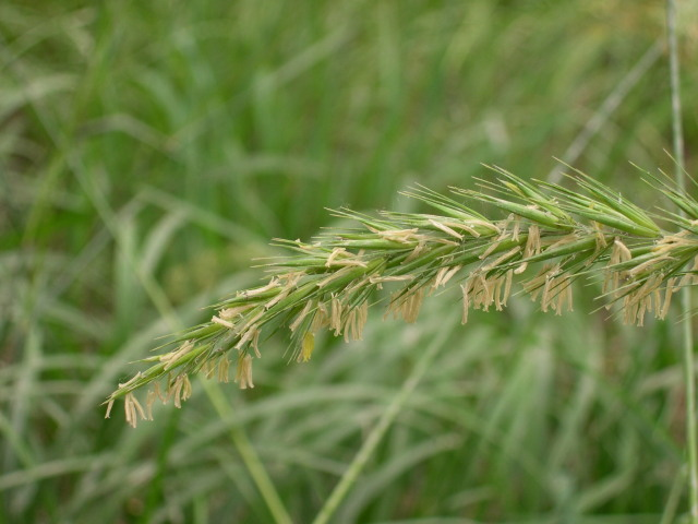 华山新麦草