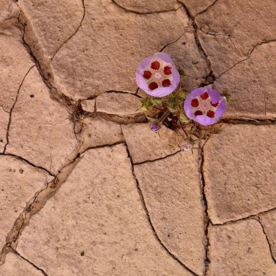 沙漠五点花