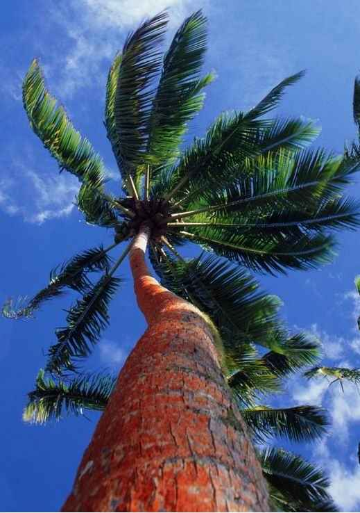 西谷椰子树