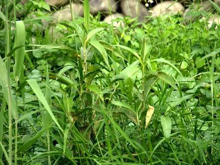 指南针植物
