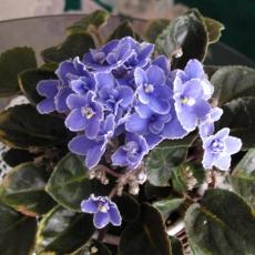 非洲紫罗兰