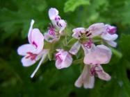 香叶天竺葵