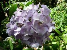 东陵八仙花