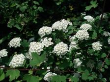 三裂绣线菊