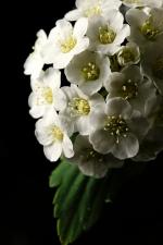 土庄绣线菊