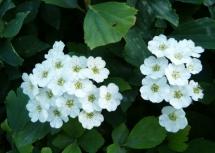 麻叶绣线菊
