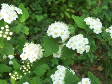 绒毛绣线菊
